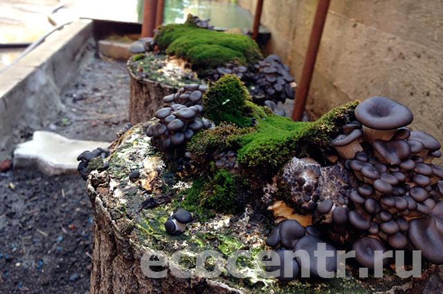 Выращивания грибов вешенки на пнях 440