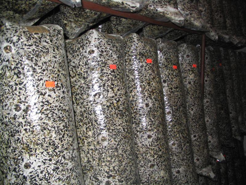 Выращивание вешенки в грибных блоках 80